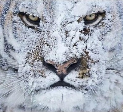 tiger - دانلود آهنگ چالش صدای غرش ببر